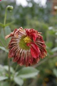 dead-dahlia(1)